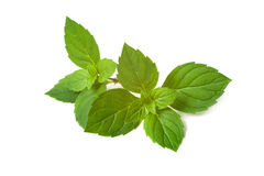 Mint leaves Arkivbilder