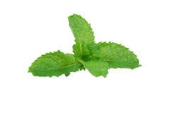 Mint Leaves stock photography