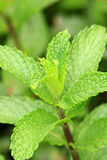 Mint leaves Royaltyfri Bild