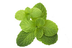 Mint leaves arkivfoto
