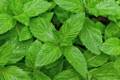 Mint leaves Royaltyfri Foto