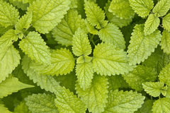 Mint leaves background Royalty Free Stock Images