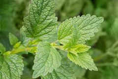 Mint leaves background Stock Photo