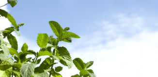 Mint Leaves on Blue Sky Royalty Free Stock Photo