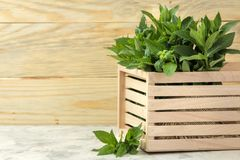 Mint. Leaves and branches of fresh green wild mint in a box on a light concrete table stock image