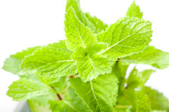 Mint leaves close up Royalty Free Stock Photos