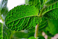 Mint leaves closeup Royalty Free Stock Photography