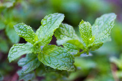 Mint leaves closeup Royalty Free Stock Photos