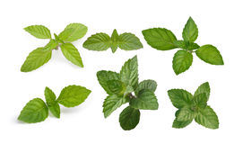 Mint leaves collection Royalty Free Stock Image
