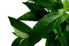 Mint leaves with dew in the isolate Stock Photography