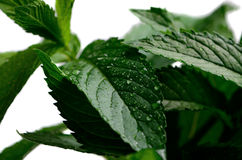 Mint leaves with dew in the isolate Royalty Free Stock Images