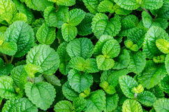 Mint leaves in farm Stock Photo