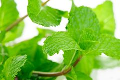 Mint leaves Royalty Free Stock Images