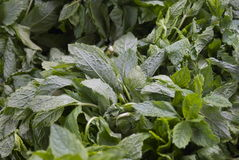 Mint leaves. Herb mint leaves on an open air market fruit and vegetable stall Royalty Free Stock Photos
