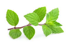 Mint leaves isolated. Mint melissa leaves isolated on a white Royalty Free Stock Image