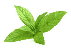 Mint leaves isolated Stock Images