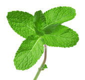 Mint leaves isolated on the white background Royalty Free Stock Photos