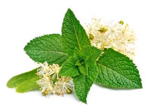 Mint leaves and linden flowers Stock Image