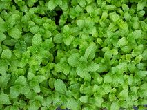 Mint leaves peppermint leaves of mint Stock Photos
