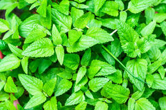 Mint Leaves Royalty Free Stock Photos