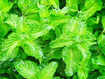 Mint leaves after rain. Royalty Free Stock Photography