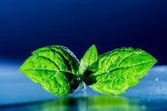 Mint leaves in sunlight close-up on dark blue background Stock Photography