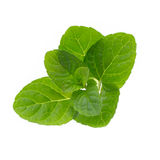 Mint leaves  on white background. Fresh raw mint leaves  on white background Stock Image