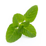Mint leaves  on white background. Fresh raw mint leaves  on white background Royalty Free Stock Photos
