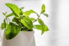 Mint leaves in white jar. White wood background Royalty Free Stock Image