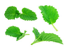 Mint, lemon balm Royalty Free Stock Images