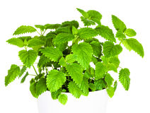 Mint, Melissa Royalty Free Stock Photography