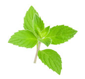 Mint melissa leaves isolated Stock Images