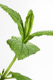 Mint (Mentha) leaf Stock Image