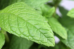 Mint (Mentha) leaf Royalty Free Stock Images