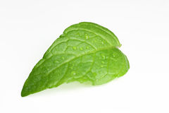Mint (Mentha) leaf Royalty Free Stock Photo
