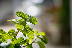 Mint Mentha piperita. It`s bunch of Mint photograph at asian Stock Image