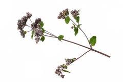 Mint mentha pulegium herbs Royalty Free Stock Photo