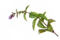 Mint mentha pulegium herbs Royalty Free Stock Images