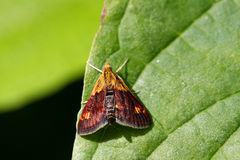 Mint Moth Royalty Free Stock Image