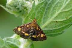 Mint moth. The mint moth (Pyrausta aurata) on a mint stock images