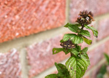 Mint moth on a mint sprig. Mint moth - Pyrausta aurata - rests with open wings on a mint herb plant Royalty Free Stock Image