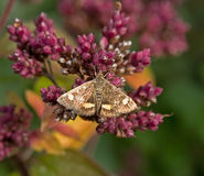 Mint Moth Pyrausta aurata Royalty Free Stock Image