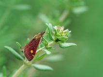 Mint moth (pyrausta aurata) on thyme plant. Little day active mint moth resting on a thyme branch with lice Stock Photos