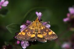 Mint moth & x28;Pyrausta aurata& x29; on marjoram Stock Images