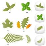 Mint Oak Maple Bay Palm Leaf Set. An image of Mint Oak Maple Bay Palm Leaf icon drawing Set Stock Photo