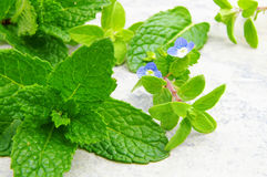 Mint and oregano Royalty Free Stock Image