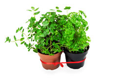 Mint and parsley Royalty Free Stock Image