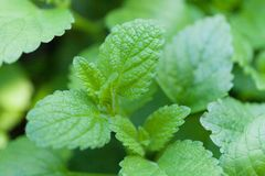 Mint, peppermint foliage, organic food agriculture harvest royalty free stock photos