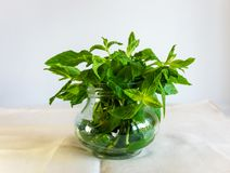 Mint Peppermint Leaves in a Glass Cup on white Background. Herbs, Cocktails, Medical stock image