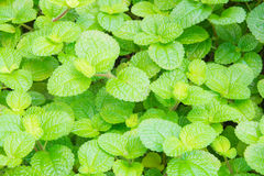 Mint or peppermint texture Royalty Free Stock Photography